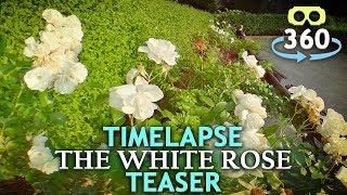 Timelapse The White Rose - Teaser - Munich 360º 4K #VirtualReality #HDR #360Video #VR #360