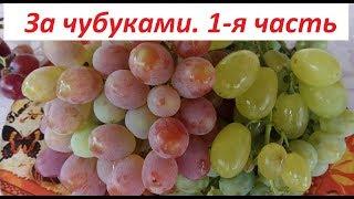 Выбираем виноград, 1 часть