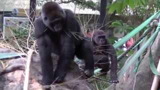 Gorilla Video:Animal Video