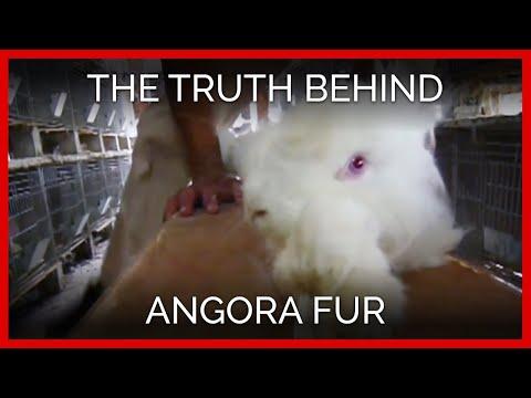 Vaateketjut sanovat ei angoratuotteille – järkyttävä video paljasti tuotannon eläinrääkkäyksen