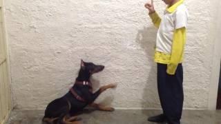 Como Adiestrar Un Perro Doberman