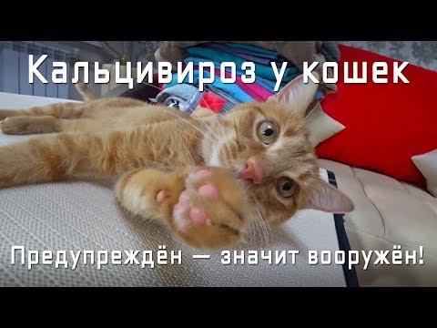 Кальцивироз у кошек. Симптомы. Печальный опыт. Это нужно знать!