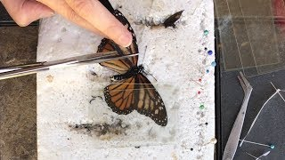 Zoo Volunteer Performs Delicate Butterfly Wing Transplant | Butterfly Rescue!