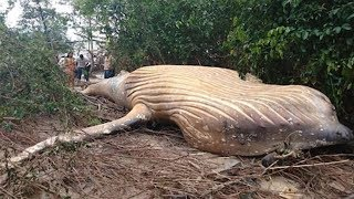 Humpback Whale Found In Amazon Rainforest And No One Knows How It Got There