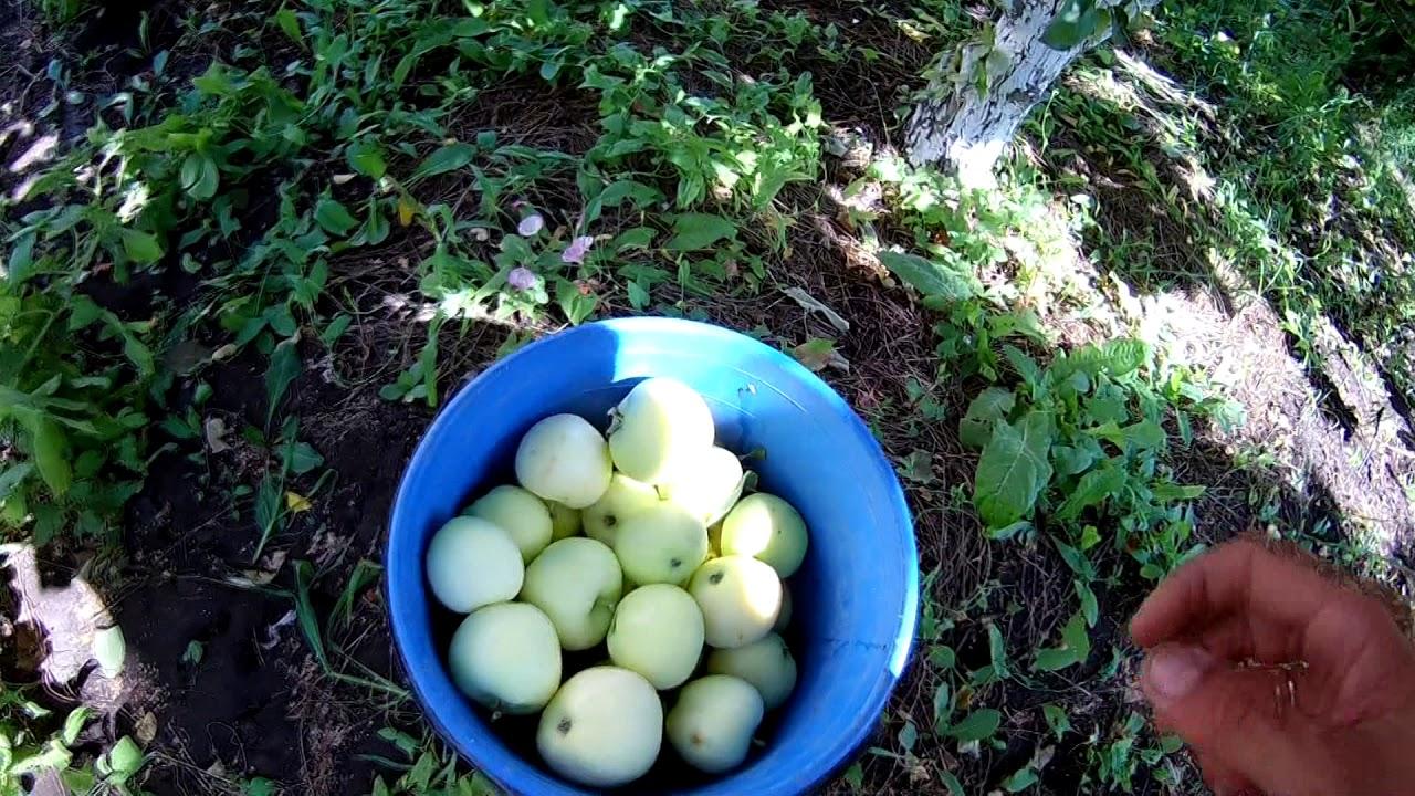 """Яблоки """"Белый налив"""""""