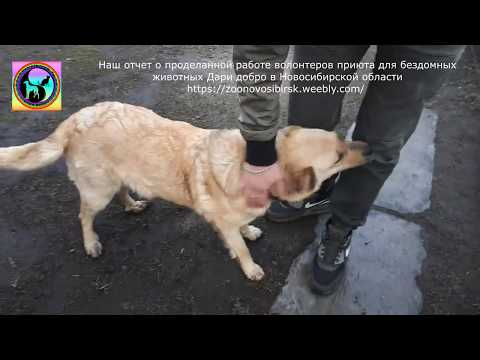 Невероятная история спасения собаки Лапки и ее щенков Приют для бездомных животных Дари Добро Нск