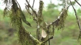 Anolis fasciatus