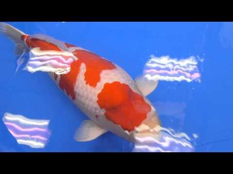 第46回 全日本総合錦鯉品評会(2015) 紅白
