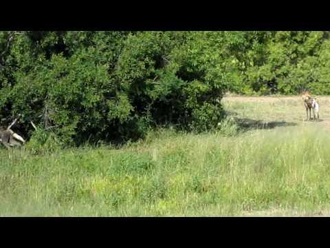 Vuyani Lodge Moditlo Private Game Reserve wild dogs