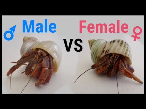 How to tell if a hermit crab is male or female