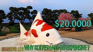 Fish Koi Japan || Why Koi Fish Are So Expensive ? || コイ