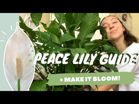 , title : 'PEACE LILY CARE + PROPAGATION | make your peace lily flower | spathiphyllum dry tips