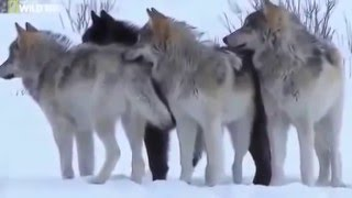 Mystery Of The Wolf