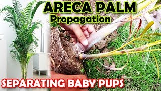 ARECA PALM PROPAGATION | HOW TO PROPAGATE ARECA PALM PUPS - Sprouting Seeds