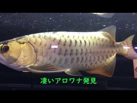 【アロワナ】凄い過背金龍見つけた! レディアンスゴールド 古代魚・熱帯魚・大型魚・アクアリスト愛好会