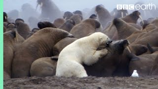 Polar Bear vs Walrus - Planet Earth - BBC Earth
