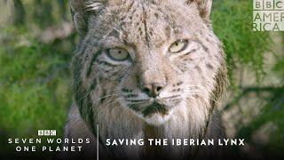 Saving the Iberian Lynx | Seven Worlds, One Planet | BBC America