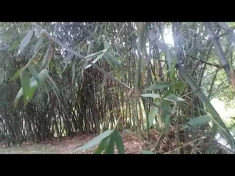 marvellous indian village nature bamboo garden.  বিস্ময়কর ভারতীয় গ্রাম প্রকৃতির বাঁশের বাগান।