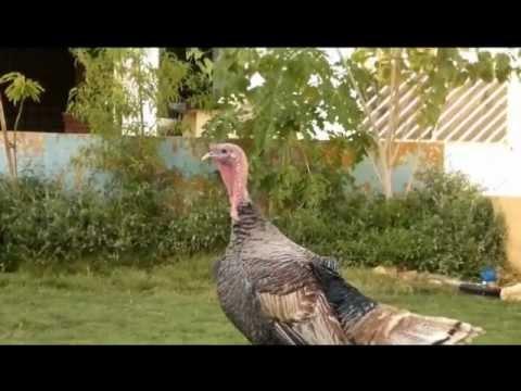 فيديو عن تربيه الدجاج الرومي من البيضة حتى البلوغ