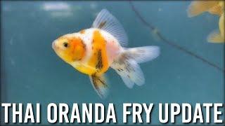 thai orandas - मुफ्त ऑनलाइन वीडियो