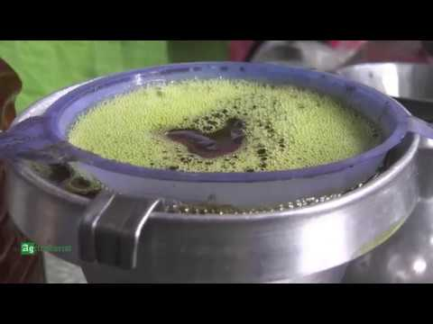 Traditional Method of Mustard Oil Extraction