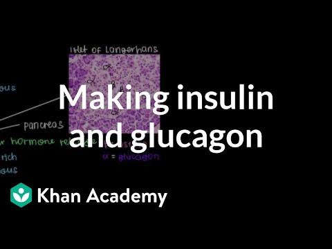 Production of insulin and glucagon (video) Khan Academy