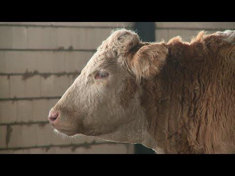 Октябрьские животноводы получили грант на развитие семейной фермы