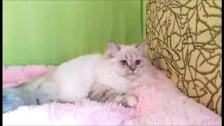 Красавица Наоми! Британские котята питомника. Элитные британцы.