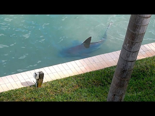9ft Bull Shark Spotted In Florida 'Backyard'