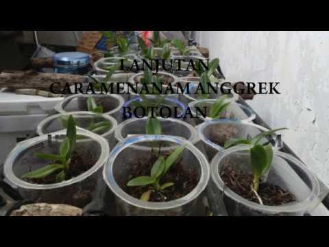 Video Cara mudah menanam Dendrobium botolan