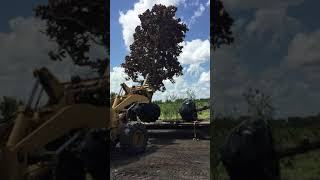Big 30′ Magnolia Tree Downloaded