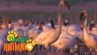* FLAMINGO * | Animals For Kids | All Things Animal TV