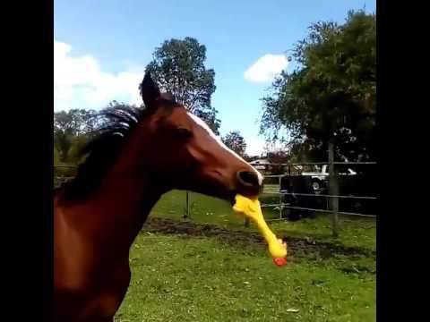 Άλογο Vs παιχνίδι που τσιρίζει...
