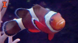 Thumbnail of Sex Change in the Brains of Clownfish video