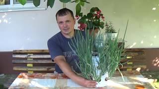 Смотреть онлайн Как вырастить лук на перо за 15 дней