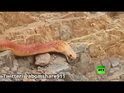 العرب اليوم - شاهد: ثعبان ضخم يُثير ضجة في السعودية