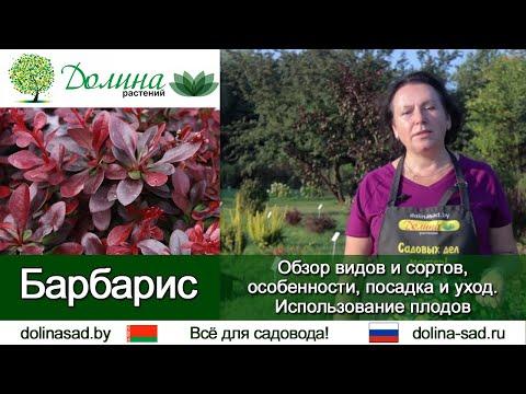 Барбарис . Как посадить барбарис, чем подкармливать и какие болезни барбариса бывают?