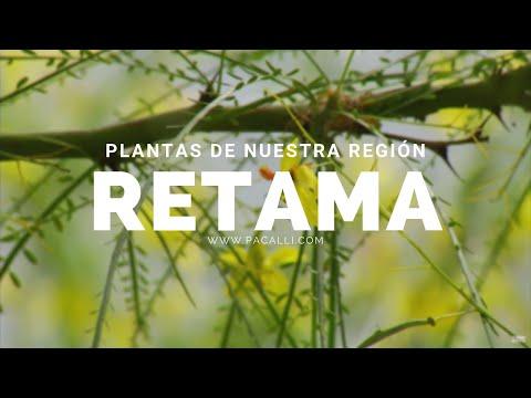 Plantas de nuestra región - La Retama