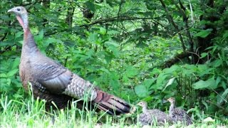 Wild Turkey Hen Assembly Call to Poults