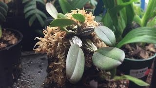 Mounting A Dendrobium Aggregatum Orchid On Cork Bark!