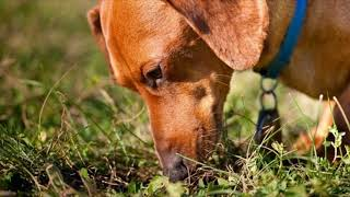 Почему собаки едят какашки?
