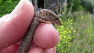 The Smallest Alligator Lizard Ever Seen On YouTube