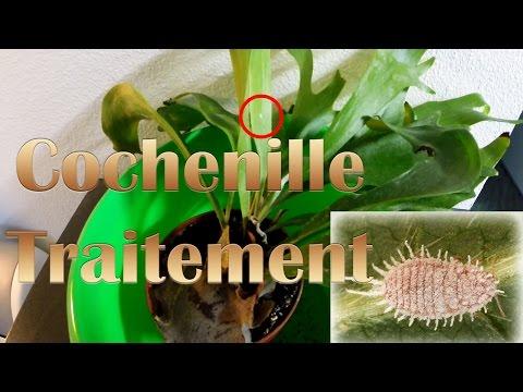 Les croûtes dorange des parasites