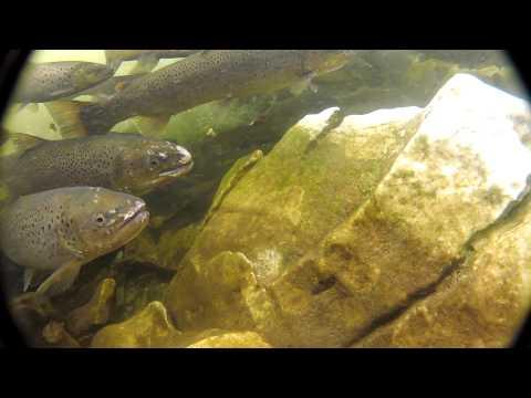 Schnorcheln mit Lachsen
