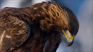 Planet Earth II | The Golden Eagle