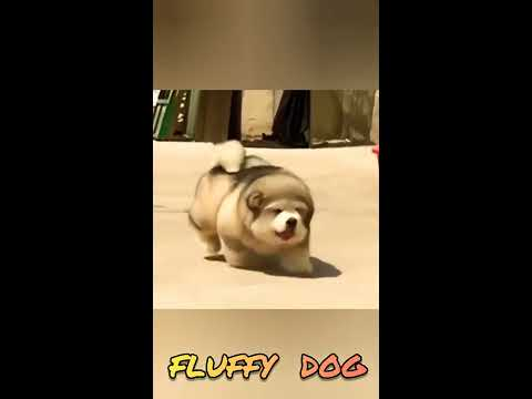 SUPER FLUFFY  DOGS