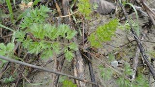 Съедобные растения. Дикая морковь / Dáucus caróta