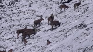 Снежный барс - среда обитания