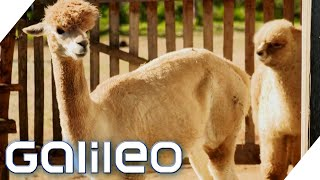 Alpakas züchten! Was macht ein Alpaka so wertvoll? | Galileo | ProSieben