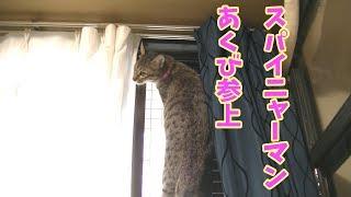 よじ登って降りれない猫スパイニャーマンの秘密!降りれない事あくび+三つ子達Climbingcat